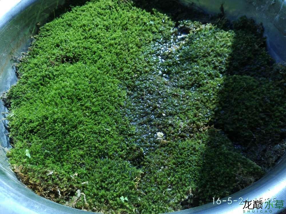 野采苔藓养在盆子里 西安龙鱼论坛 西安博特第6张