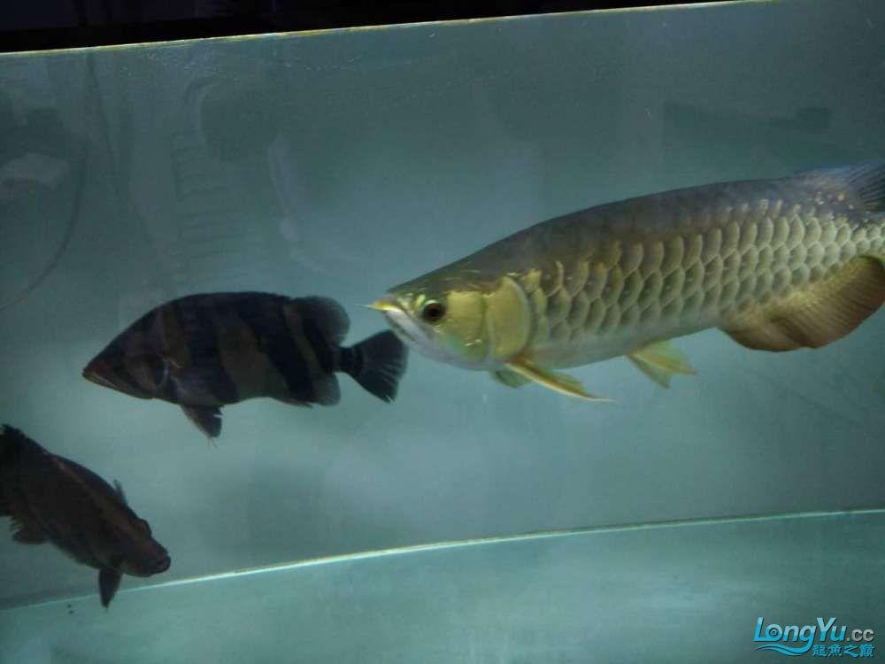 上滤水西安魟鱼吃什么也可以很清亮的 西安观赏鱼信息 西安博特第1张