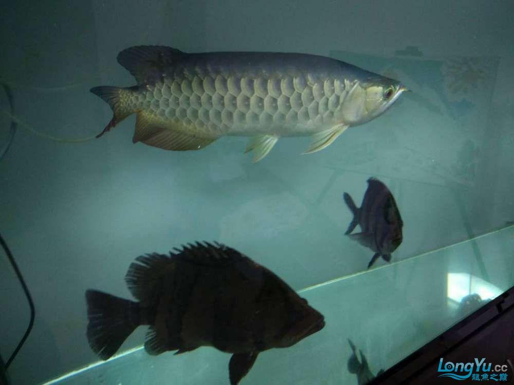 上滤水西安魟鱼吃什么也可以很清亮的 西安观赏鱼信息 西安博特第7张
