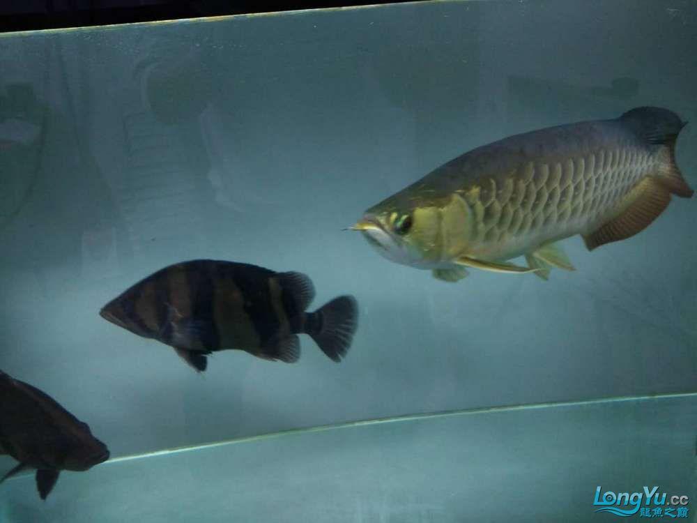 上滤水西安魟鱼吃什么也可以很清亮的 西安观赏鱼信息 西安博特第5张