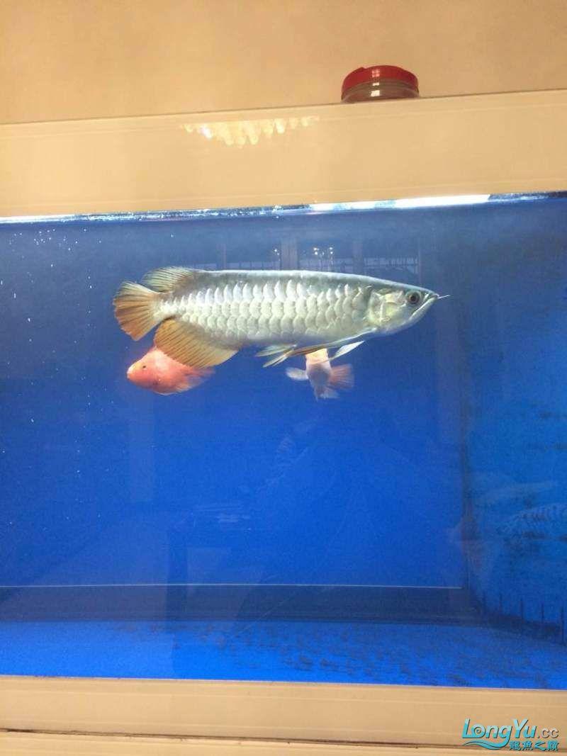 养了5年的鱼昨天晚上送它上山了 西安观赏鱼信息 西安博特第3张
