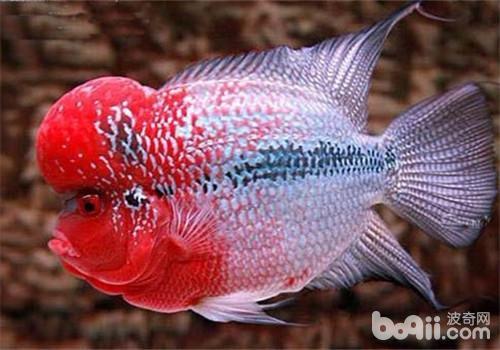 西安白鲳鱼价格鱼缸这个地方老是存鱼便怎么办 西安观赏鱼信息