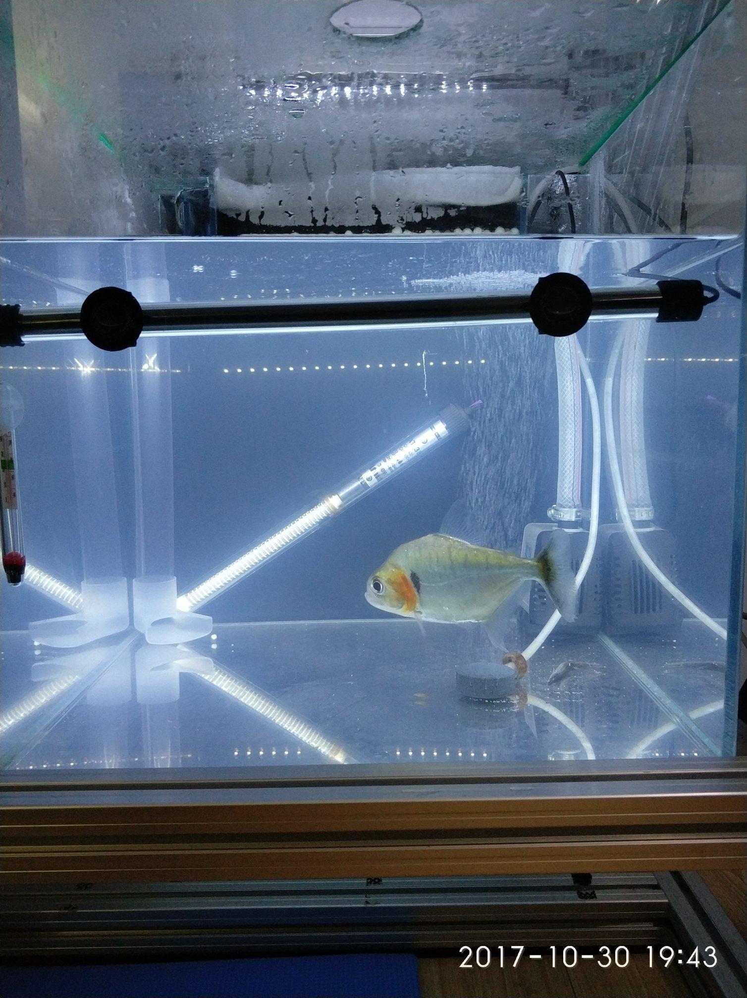 晒晒我的鱼们 西安观赏鱼信息 西安博特第3张