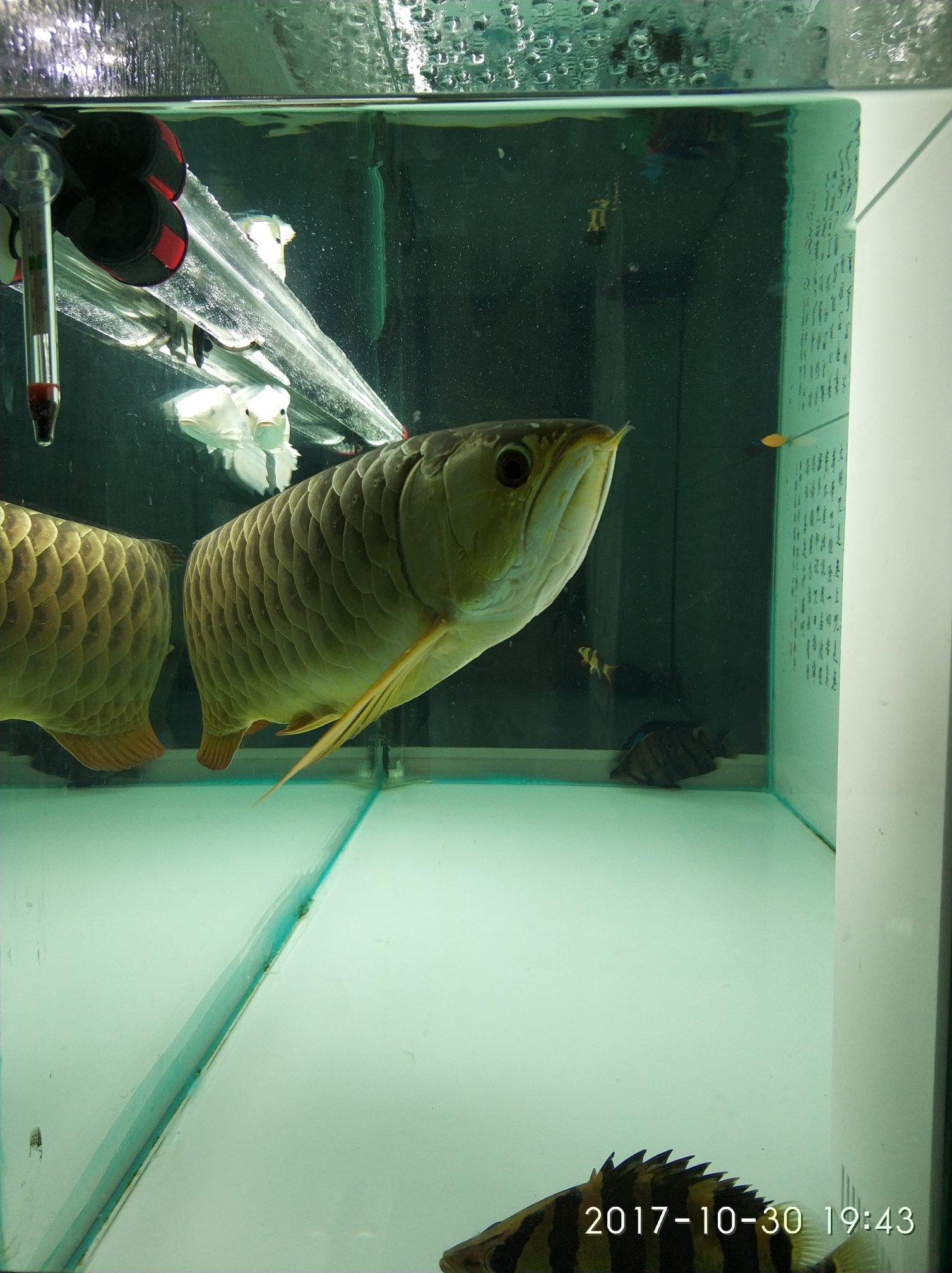 晒晒我的鱼们 西安观赏鱼信息 西安博特第4张