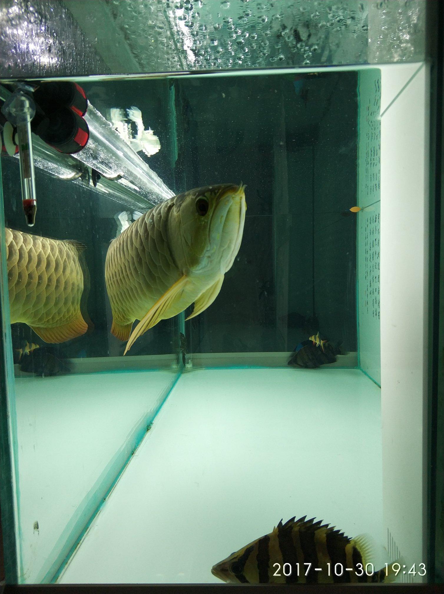 晒晒我的鱼们 西安观赏鱼信息 西安博特第5张