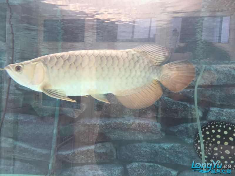 金龙据食两周了求助大神 西安观赏鱼信息
