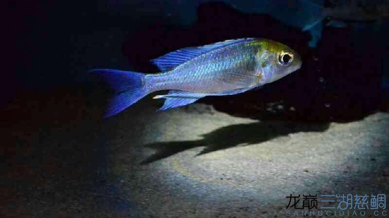【西安龙缸】好久没发帖了发发我的橙头蓝提灯 西安观赏鱼信息 西安博特第2张
