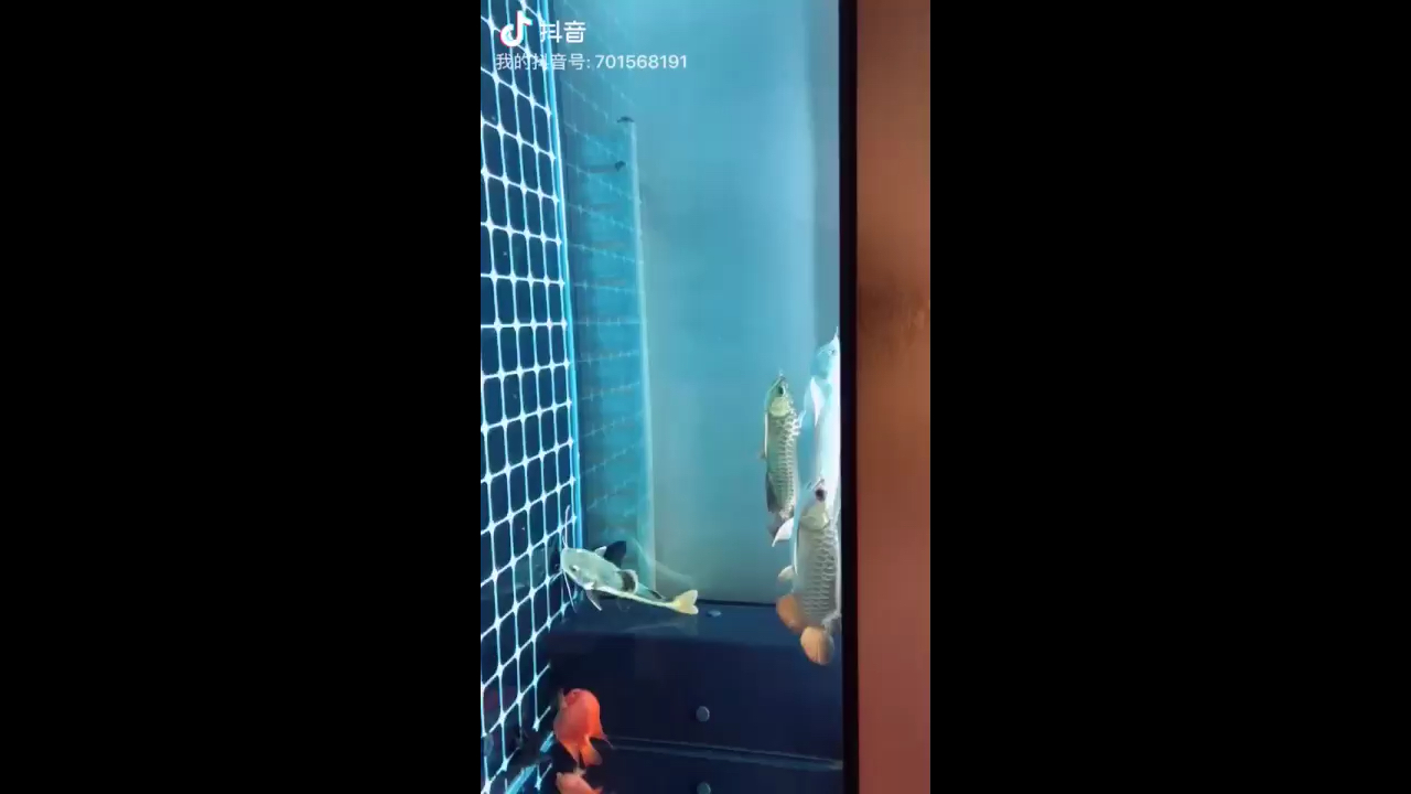 两条古西安魟鱼批发典龙鱼龙巅 西安龙鱼论坛 西安博特第1张