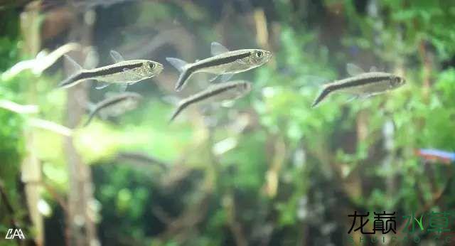 【西安虎鱼】西安白子关刀鱼哪个店的最好柳落云烟:抽象+创新= ? 西安观赏鱼信息 西安博特第7张