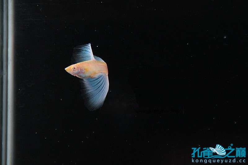 GCN孔雀鱼协会鱼只展示