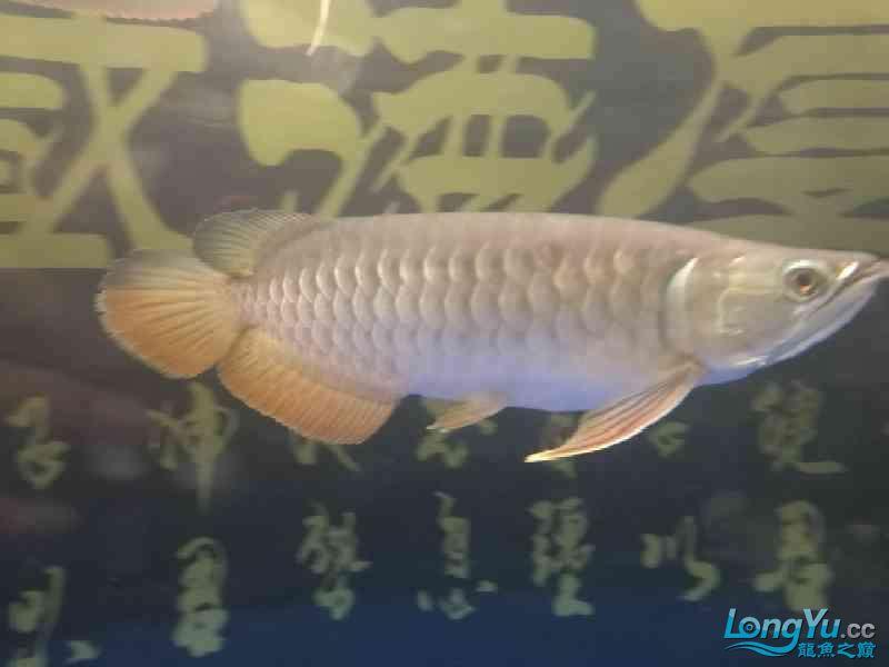 请问这龙有颜色吗? 西安龙鱼论坛 西安博特第3张