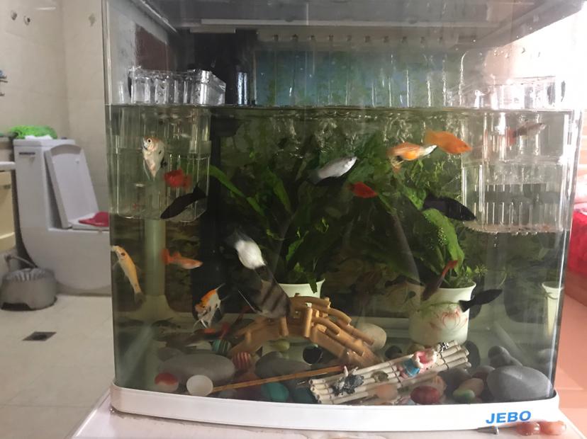 西安虎鱼有几种又生了 西安龙鱼论坛 西安博特第3张