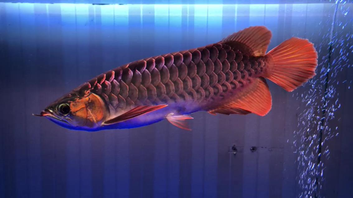 就是不红湖北鱼友圈 西安观赏鱼信息