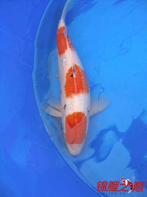 罗汉鱼不同的红白锦鲤 西安龙鱼论坛 西安博特第2张