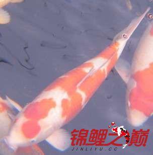 罗汉鱼不同的红白锦鲤 西安龙鱼论坛 西安博特第4张