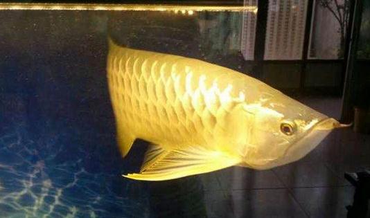 罗汉鱼不同的红白锦鲤 西安龙鱼论坛 西安博特第6张