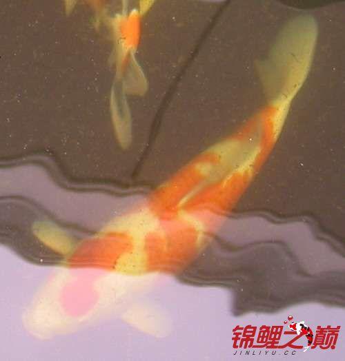 罗汉鱼不同的红白锦鲤 西安龙鱼论坛 西安博特第5张