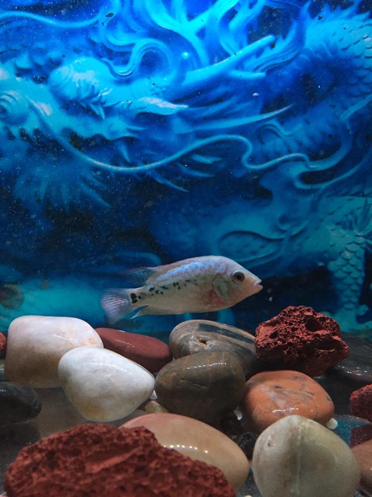 西安哪个水族店卖黑云(大吉大利)鱼有头座不 西安龙鱼论坛 西安博特第2张