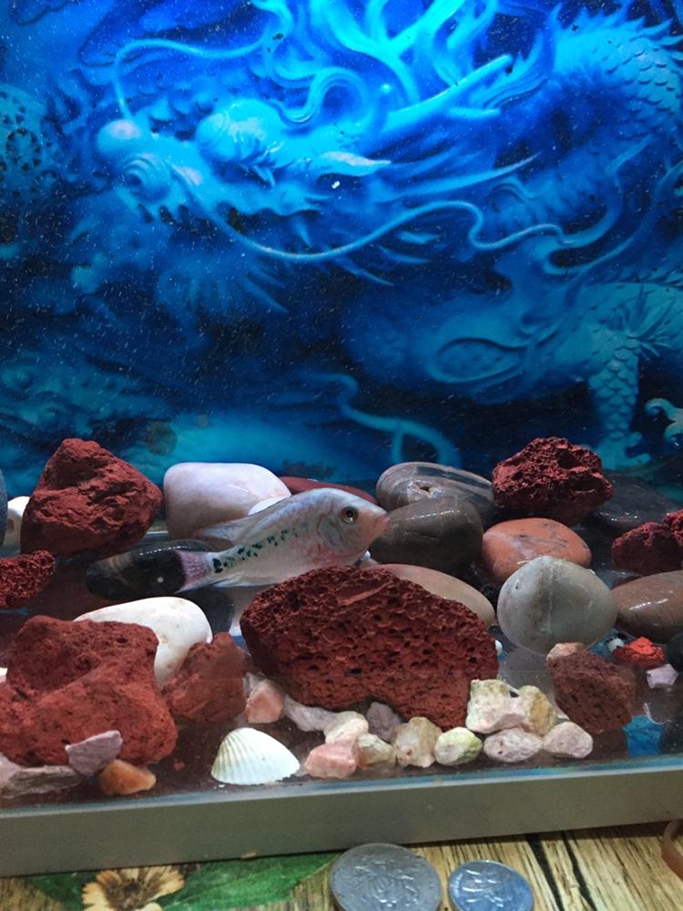 西安哪个水族店卖黑云(大吉大利)鱼有头座不 西安龙鱼论坛 西安博特第4张