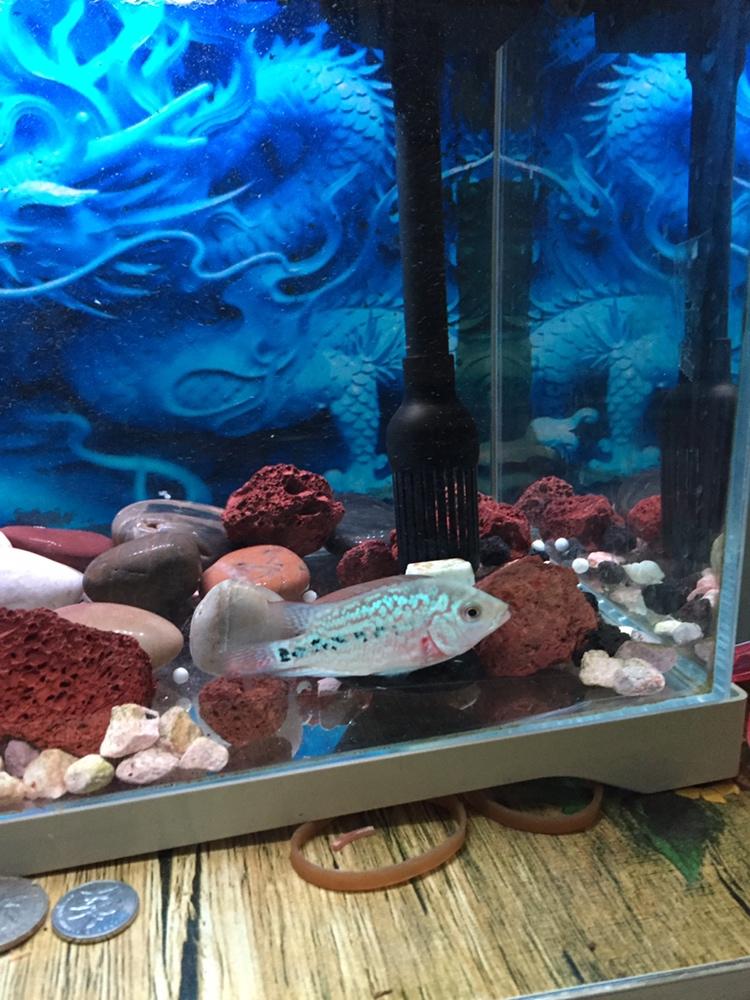 西安哪个水族店卖黑云(大吉大利)鱼有头座不 西安龙鱼论坛 西安博特第5张