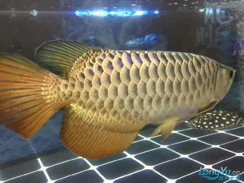 小四8个月记录 西安观赏鱼信息 西安博特第2张