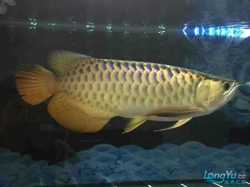 小四8个月记录 西安观赏鱼信息 西安博特第4张