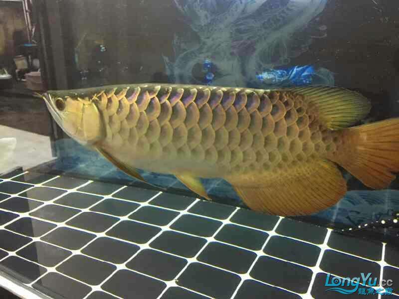 小四8个月记录 西安观赏鱼信息 西安博特第8张