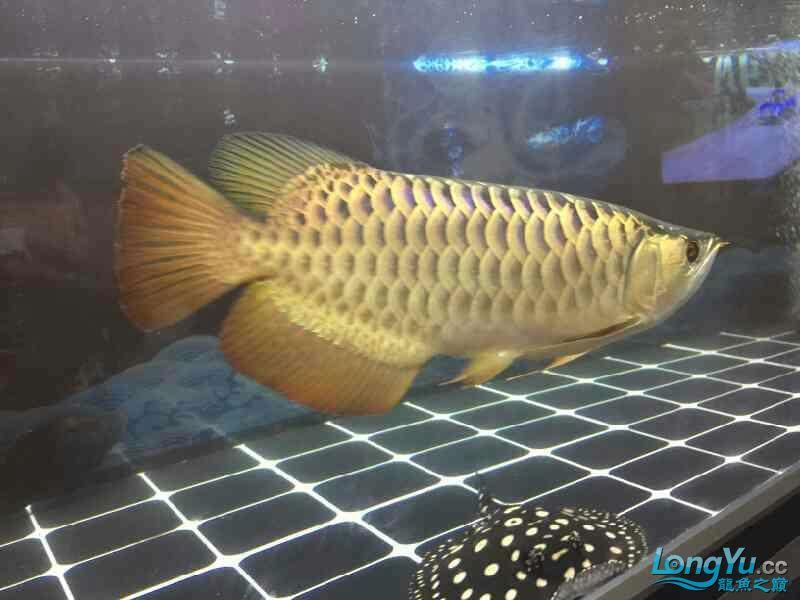 小四8个月记录 西安观赏鱼信息 西安博特第9张