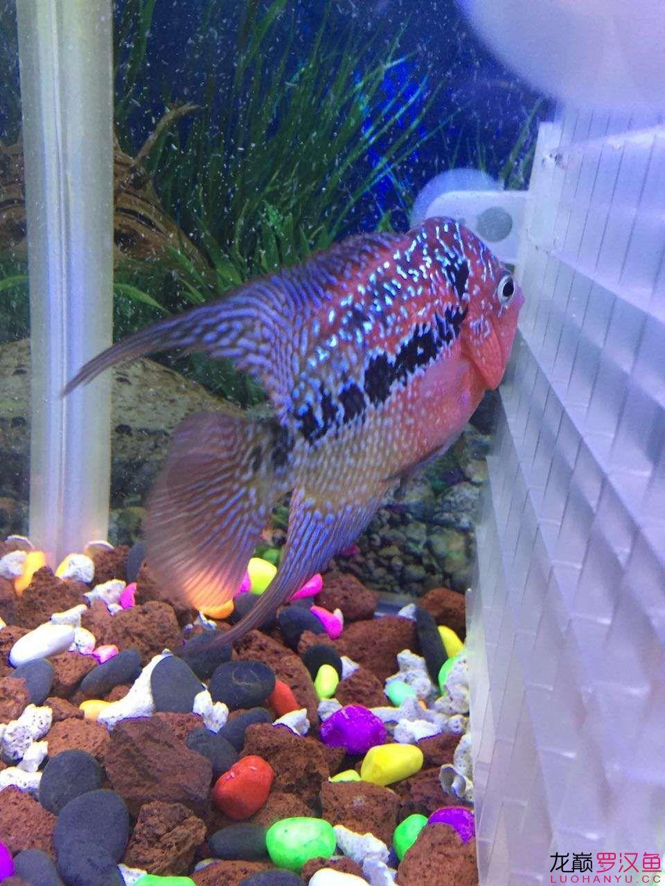 新入手的一天小泰金 西安观赏鱼信息 西安博特第4张