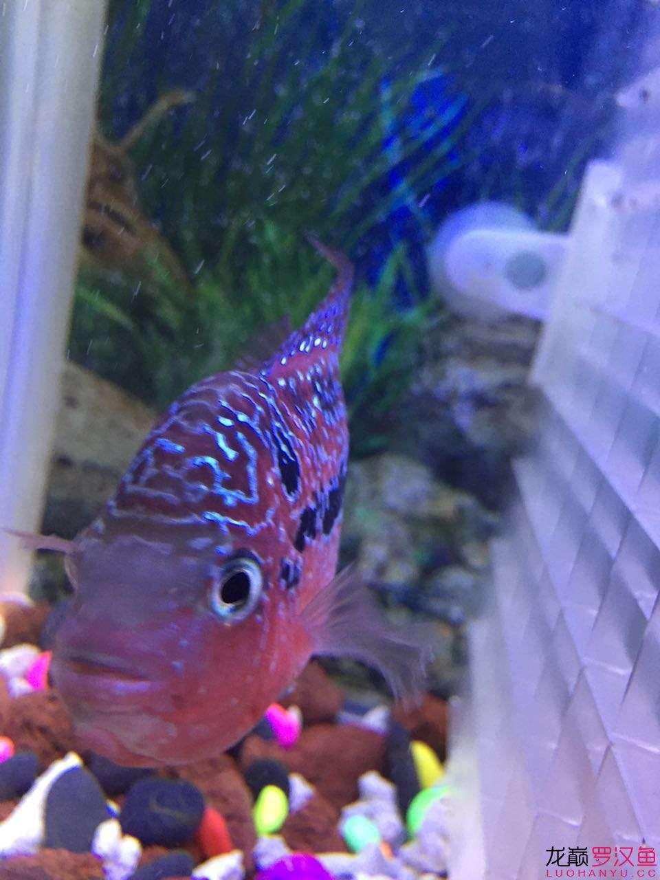 新入手的一天小泰金 西安观赏鱼信息 西安博特第6张