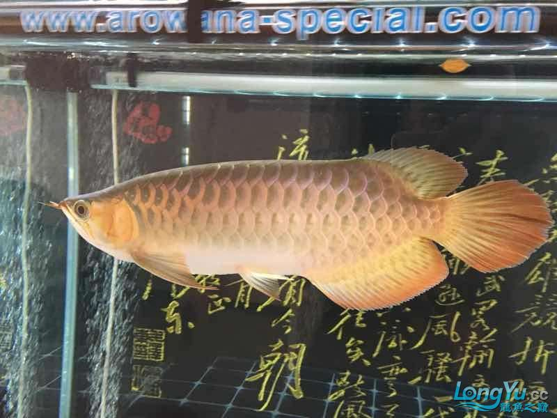 西安印尼三纹虎苗30公分白灯下的肤色可【西安罗汉鱼】惜一只掉眼没办法 西安龙鱼论坛 西安博特第1张