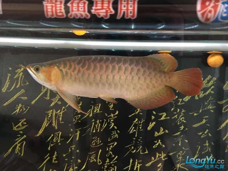 西安印尼三纹虎苗30公分白灯下的肤色可【西安罗汉鱼】惜一只掉眼没办法 西安龙鱼论坛 西安博特第3张