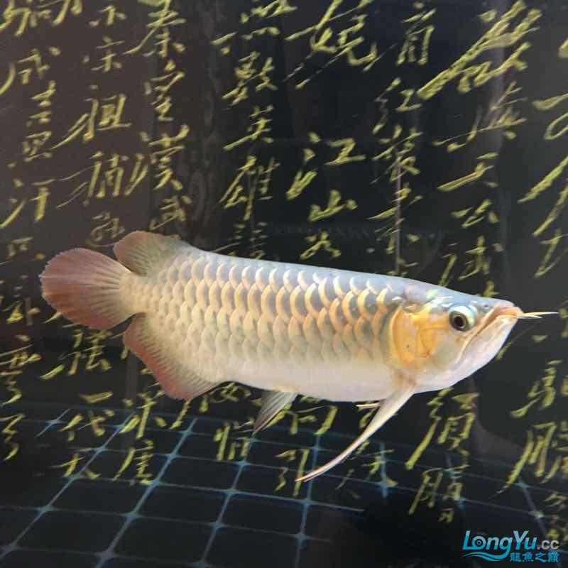 西安印尼三纹虎苗30公分白灯下的肤色可【西安罗汉鱼】惜一只掉眼没办法 西安龙鱼论坛 西安博特第5张