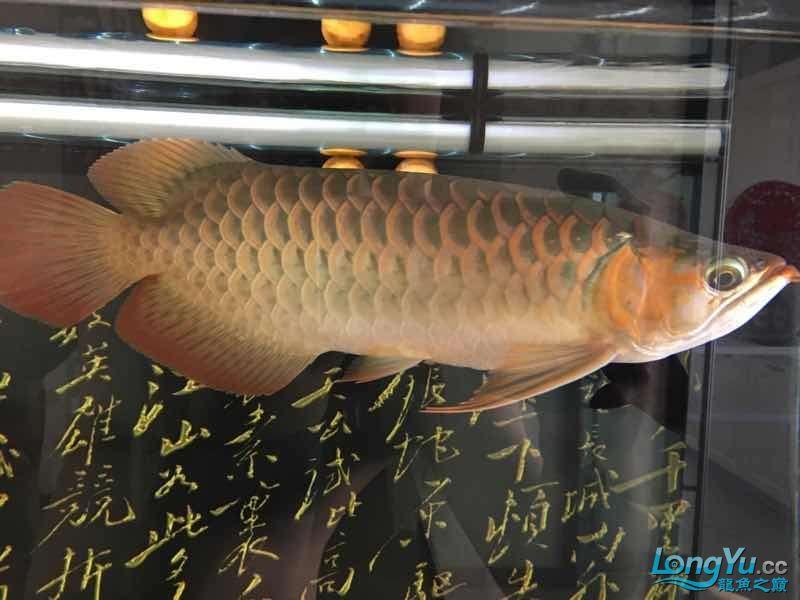 西安印尼三纹虎苗30公分白灯下的肤色可【西安罗汉鱼】惜一只掉眼没办法 西安龙鱼论坛 西安博特第6张