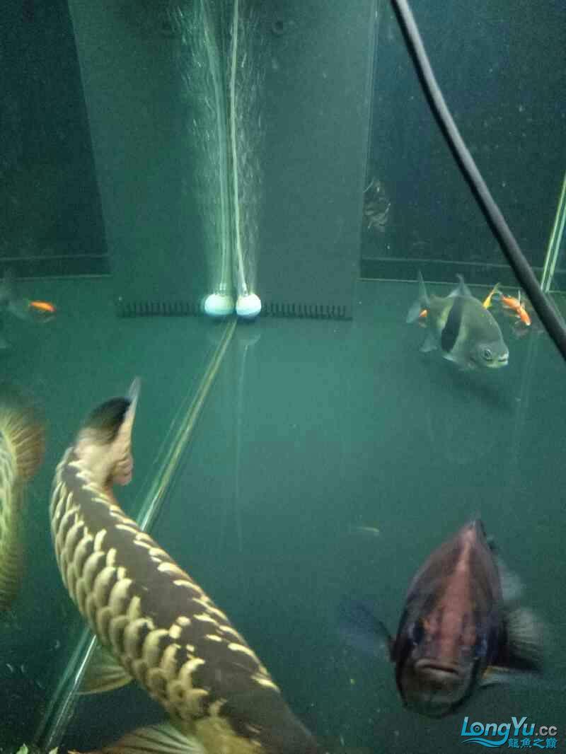 西安鱼缸定做养鱼78年经历了很多养鱼给我带来的欢乐只有养鱼人才懂得 西安龙鱼论坛 西安博特第3张