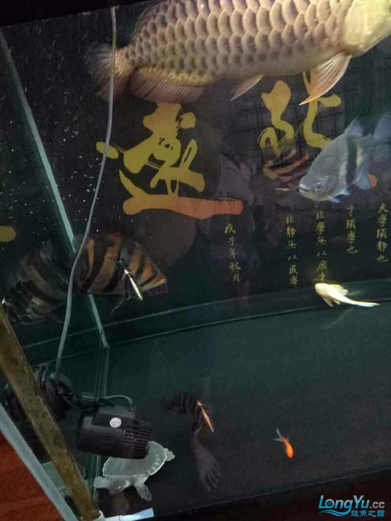 西安鱼缸定做养鱼78年经历了很多养鱼给我带来的欢乐只有养鱼人才懂得 西安龙鱼论坛 西安博特第2张