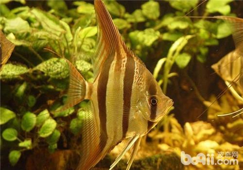 养鱼重在养水养树重在养根养人重在养心 西安观赏鱼信息 西安博特第2张