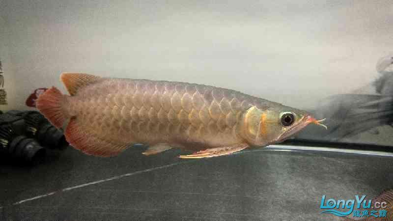 小龙回家刚一个月西安银龙对比欢迎各位老师围观点评 西安观赏鱼信息 西安博特第4张