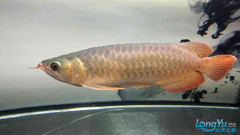 小龙回家刚一个月西安银龙对比欢迎各位老师围观点评 西安观赏鱼信息 西安博特第2张