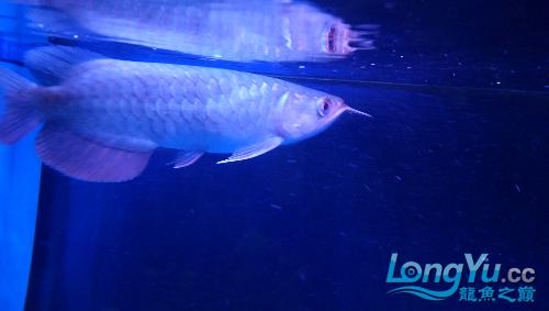 西安帝王魟鱼看看这张 西安龙鱼论坛 西安博特第1张