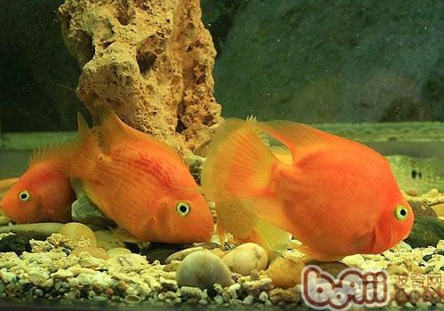 西安帝王魟鱼看看这张 西安龙鱼论坛 西安博特第2张