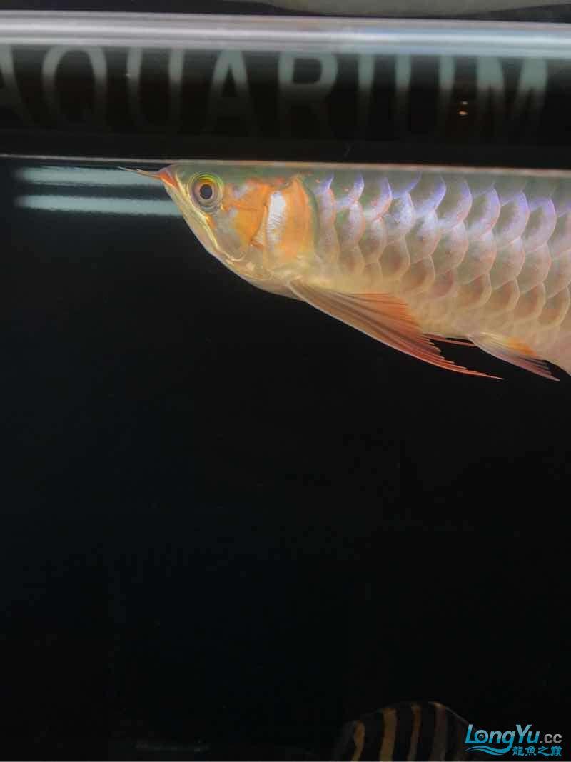西安女皇大帆蜕变 蜕变 继续发色 吃框 西安观赏鱼信息 西安博特第5张