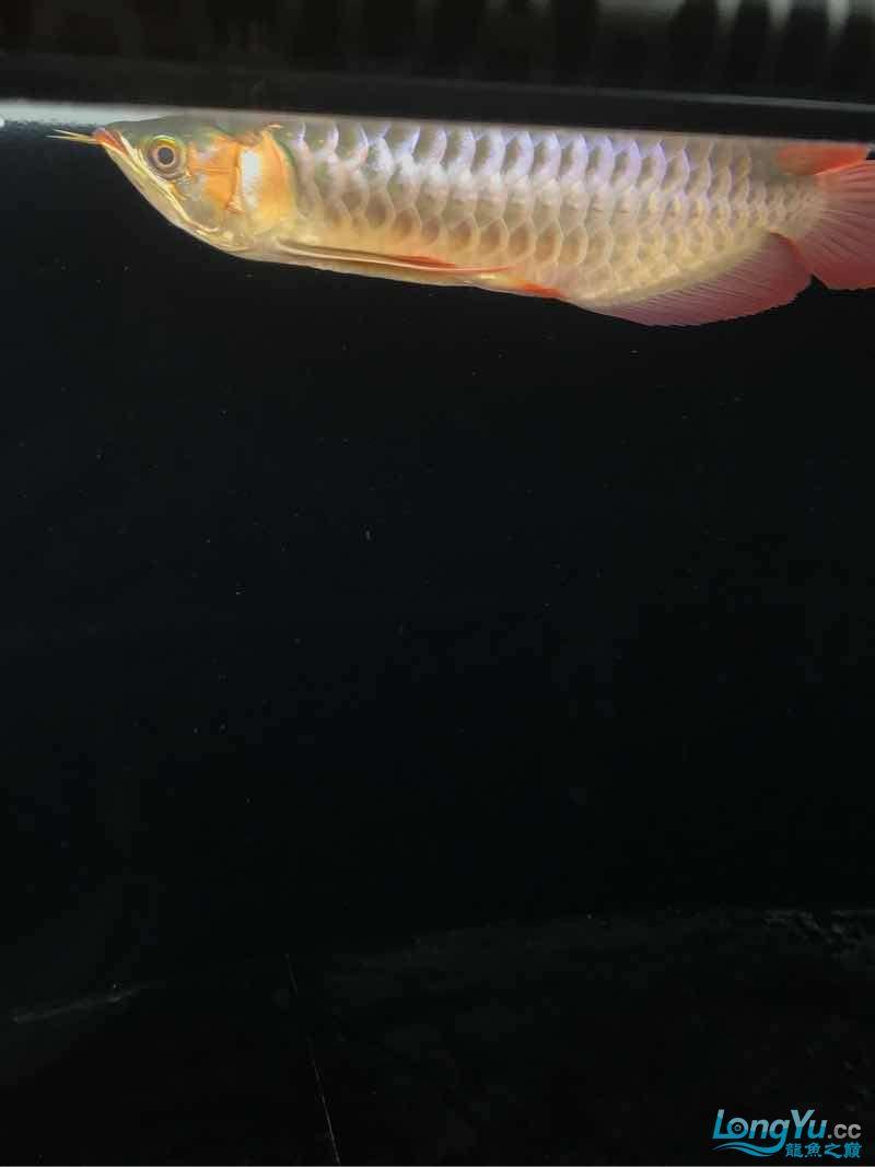 西安女皇大帆蜕变 蜕变 继续发色 吃框 西安观赏鱼信息 西安博特第3张