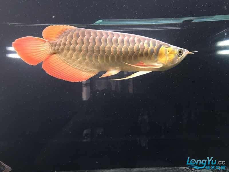 西安女皇大帆蜕变 蜕变 继续发色 吃框 西安观赏鱼信息 西安博特第2张