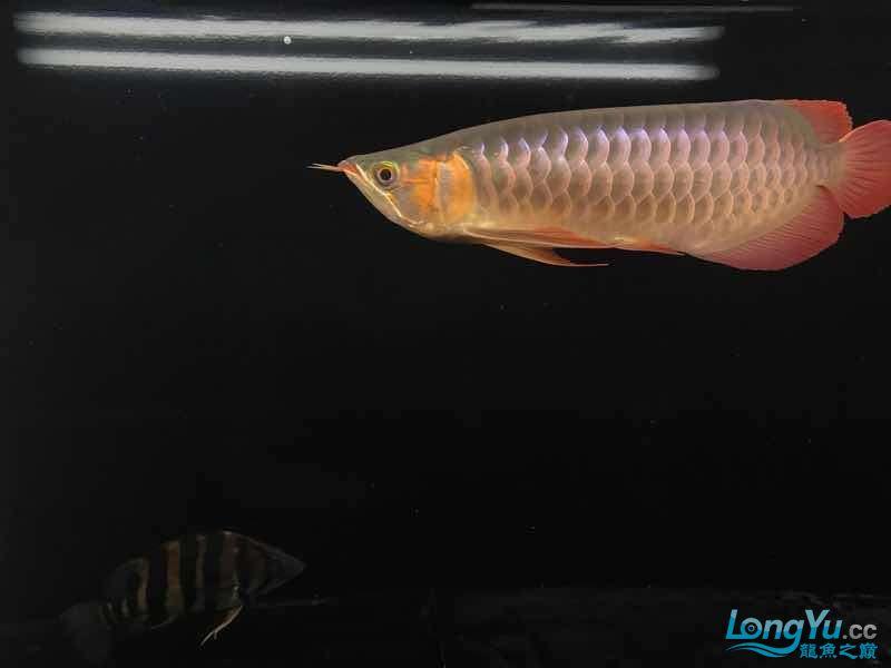 西安女皇大帆蜕变 蜕变 继续发色 吃框 西安观赏鱼信息 西安博特第8张
