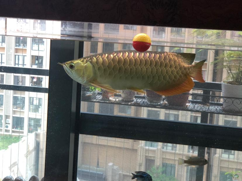 西安花鸟鱼虫市场周边金光闪闪 西安观赏鱼信息 西安博特第2张
