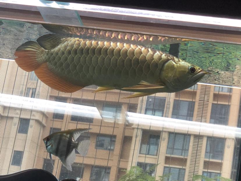 西安花鸟鱼虫市场周边金光闪闪 西安观赏鱼信息 西安博特第1张
