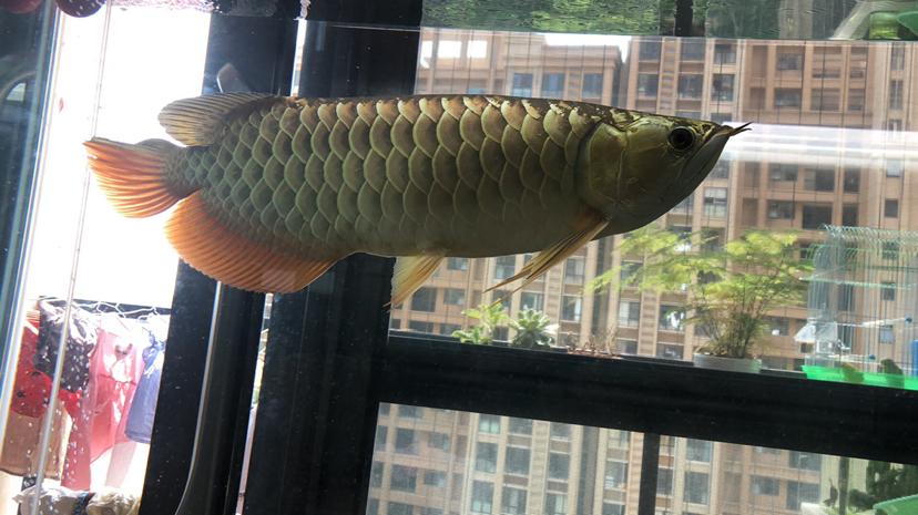 西安花鸟鱼虫市场周边金光闪闪 西安观赏鱼信息 西安博特第4张