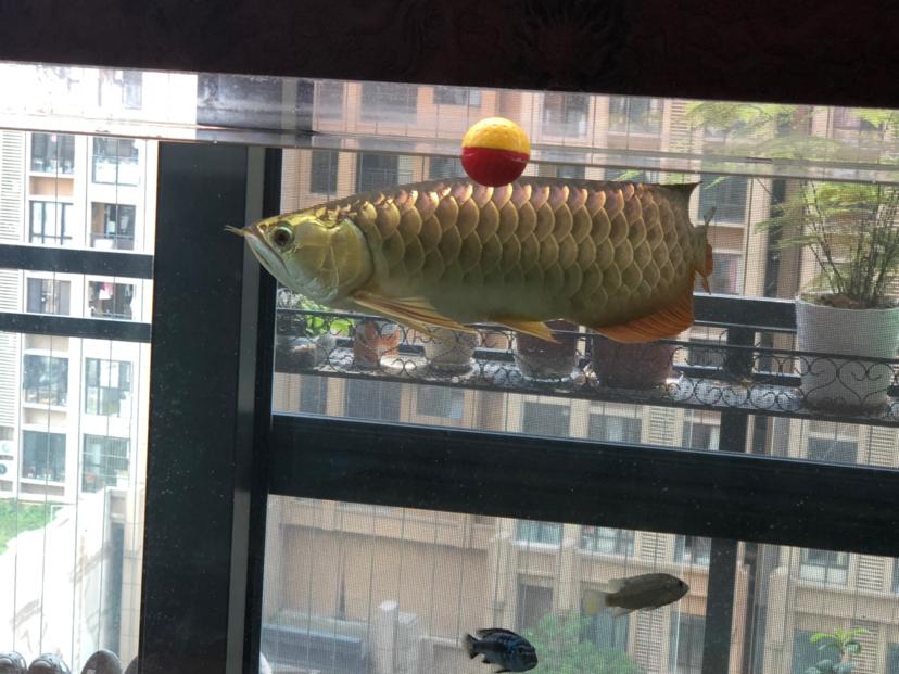 西安花鸟鱼虫市场周边金光闪闪 西安观赏鱼信息 西安博特第3张