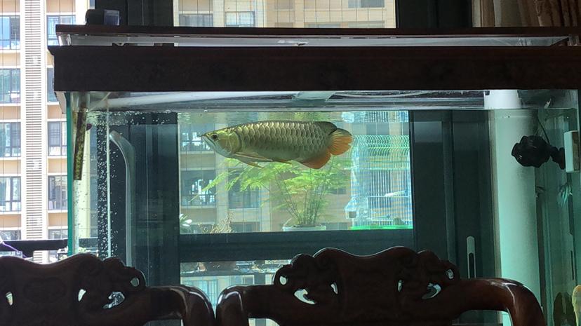 西安花鸟鱼虫市场周边金光闪闪 西安观赏鱼信息 西安博特第5张